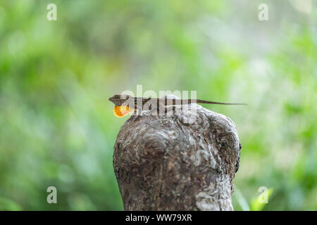 Male Cuban brown anole (Anolis sagrei) extending it's dewlap to attract a mate at A.L. Anderson Park, Tarpon Springs, Florida, USA. - Stock Photo