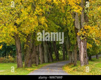 Sweden, Smaland, autumn-coloured maple avenue near Sävsjö - Stock Photo
