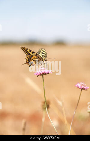 A swallowtail butterfly (Papilio machaon) on a clover blossom, - Stock Photo