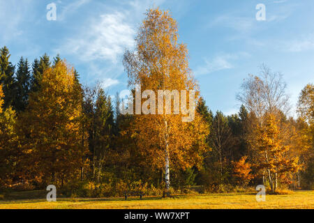 Indian Summer in Bavaria, a birch with white bark at the edge of the forest in autumn, - Stock Photo