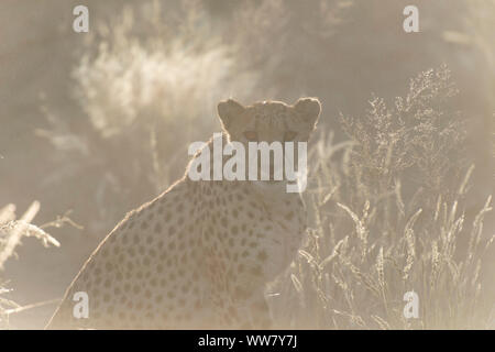 Cheetah in the early morning sun in Namibia, looking in the camera - Stock Photo