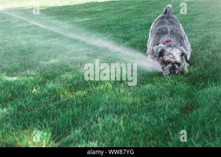 Wet happy pet schnauzer dog puppy playing with water, drinking from sprinkler in a hot day - Stock Photo