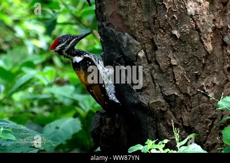 A colorful woodpecker sited on a old tree searching food in a green forest. - Stock Photo