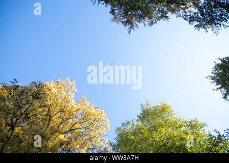 Netherlands, Groningen, view from below into autumn trees - Stock Photo