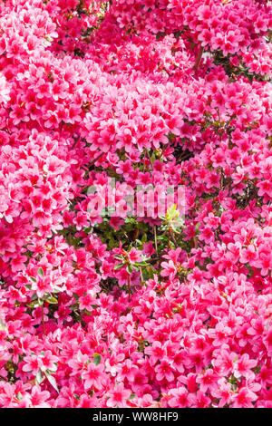 Wales, Conwy, Bodnant Garden, Azaleas in Bloom - Stock Photo
