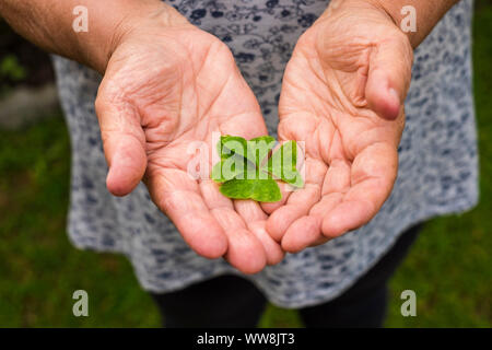 old aged hands of woman take a quatrifoil to have and offer lucky life and happiness to everyone in the world. nature concept of luck and hope - Stock Photo