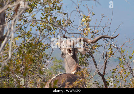 A Kudu male browsing in the Marakele National Park, South Africa - Stock Photo