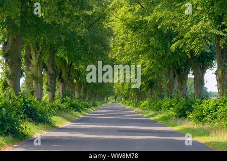 Lime tree avenue in summer, Brandenburg, Germany - Stock Photo