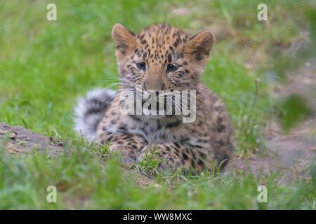Amur leopard, Panthera pardus orientalis, cub - Stock Photo