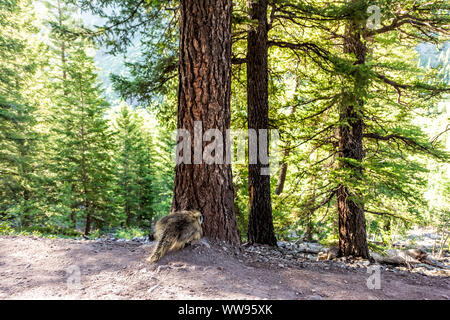 Maroon Bells crater lake trail in Aspen, Colorado with forest footpath and porcupine wildlife wild animal - Stock Photo