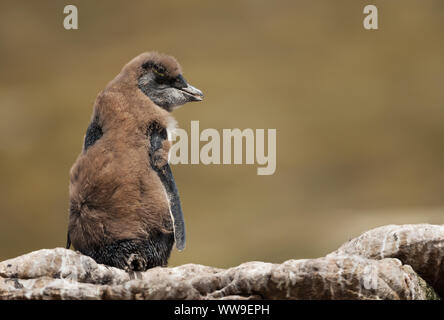 Close up of a molting Rockhopper penguin chick sitting on a rock, Falkland Islands. - Stock Photo