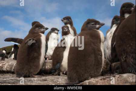 Close up of Rockhopper penguin chicks standing on rocks in a rookery, Falkland Islands. - Stock Photo