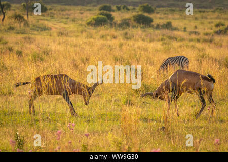 Two Red Hartebeest ( Alcelaphus Buselaphus Caama) locking horns and fighting on a open plain under a sunset sky, Welgevonden Game Reserve, South Afric - Stock Photo