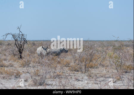 Two out of a group of four white Rhinoceros -Ceratotherium simum- standing on a barren plain in Etosha National Park, Namibia. - Stock Photo