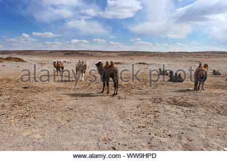Bactrian camels or two-humped camels tighten by ropes on a windy day in the Gobi Desert in the area of Tsagaan Suvraga «white stupa», Mongolia - Stock Photo