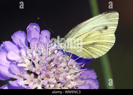 Berlin, Germany. 04th Sep, 2019. A cabbage white butterfly sits on the flower of a field widow flower and collects nectar. The cabinet has approved the animal welfare label of Agriculture Minister Klöckner (CDU), the insect protection programme of Environment Minister Schulze (SPD), which also deals with the withdrawal of the weed poison glyphosate, as well as a reallocation of EU agricultural subsidies in favour of the promotion of sustainable agriculture. Credit: Wolfgang Kumm/dpa/Alamy Live News - Stock Photo
