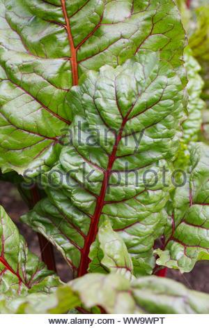 Beta vulgaris. Rhubarb Chard leaves. - Stock Photo