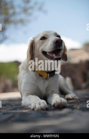 Santorini, Greece - June 24, 2018: A yellow Labrador dog lies on a stone sidewalk in the town of Akrotiri, on the southern coast of Santorini. - Stock Photo