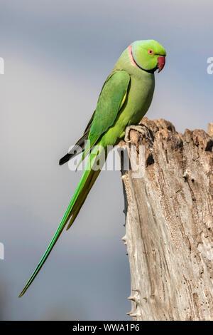 Ring necked Parakeet, Psittacula krameri, a single adult bird, october, London - Stock Photo
