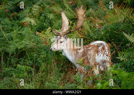 A Fallow deer stag or buck in dense bracken. - Stock Photo