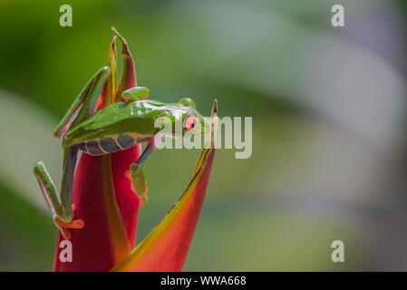 A red-eyed tree frog, Agalychnis callidryas, funny frog in Costa Rica, climbing on a parakeet flower