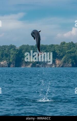 common bottlenose dolphin, Tursiops truncatus, dolphin jumping high in Costa Rica - Stock Photo
