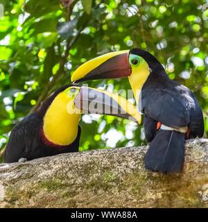 black-mandibled toucan, Ramphastos ambiguus swainsonii, colorful bird - Stock Photo