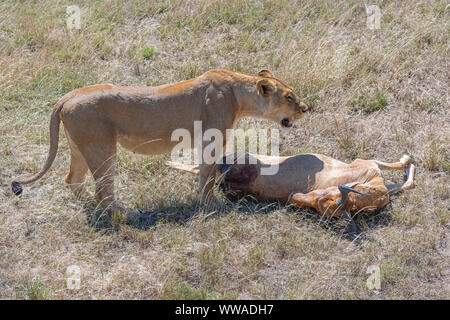 lioness who killed an antelope and is eating it in the savannah in Tanzania - Stock Photo