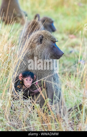 Family of baboons in the forest in Tanzania, the mother carrying the baby - Stock Photo