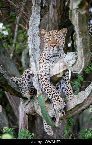 Portrait of female leopard (Panthera pardus) resting on branch, Uganda - Stock Photo