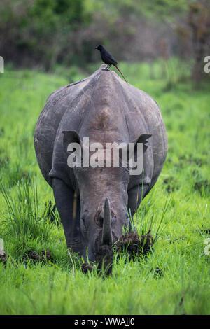 Southern white rhinoceros (Ceratotherium simum simum) seen during safari inZiwa Rhino Sanctuary, Uganda - Stock Photo