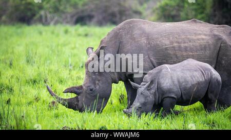 Southern white rhinoceros (Ceratotherium simum simum) mother and calf seen during safari inZiwa Rhino Sanctuary, Uganda - Stock Photo
