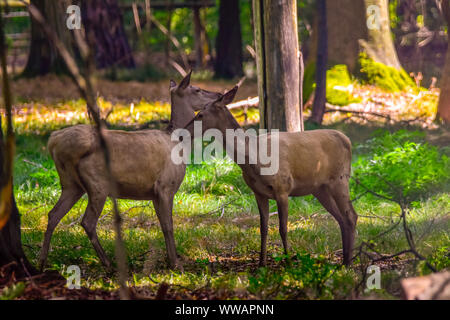 Red deer in the nature in the forest - Stock Photo