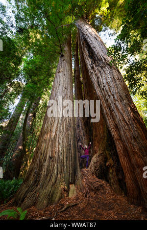 A woman doing tree yoga pose inside a giant Sequoia and redwood trees, some of the largest trees on earth, along the California Coast at the Redwoods