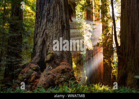 A giant Sequoia and redwood trees with sun beams coming through the trees along the California Coast at the Redwoods National and state park. - Stock Photo
