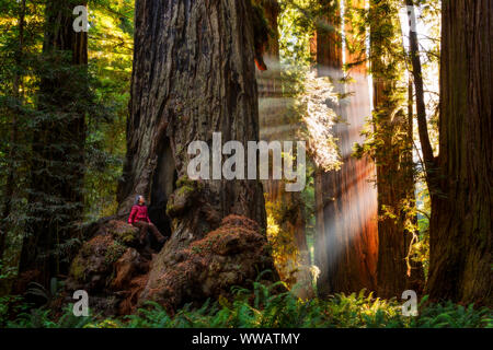 A woman inside a giant Sequoia and redwood trees with sun beams coming through the trees along the California Coast at the Redwoods National and state Stock Photo