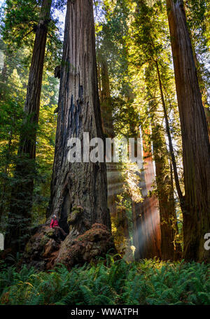A woman inside a giant Sequoia and redwood trees with sun beams coming through the trees along the California Coast at the Redwoods National and state