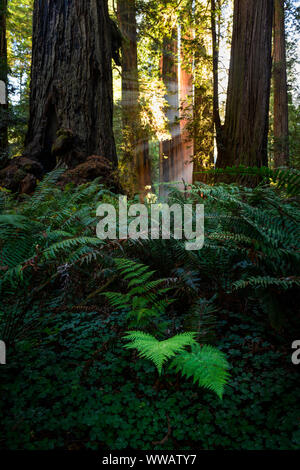 A giant Sequoia and redwood trees with sun beams coming through the trees and a fern in the foreground along the California Coast at the Redwoods Nati - Stock Photo