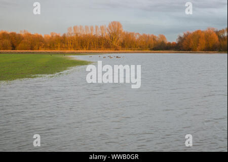 Flooded meadows in the winter morning sun. The Rhine has overflowed its banks. - Stock Photo