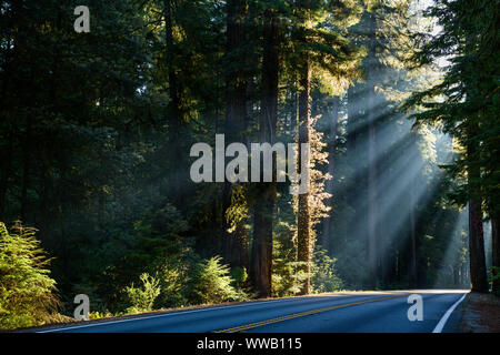 A road through groves of giant Sequoia and redwood trees with sun beams coming through the trees along the California Coast at the Redwoods National a - Stock Photo