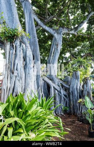Hawai'i, the Big Island, Hulihe`e Palace Banyon Tree