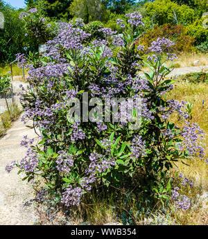 University of California at Santa Cruz Arboretum, Felt-Leaved Yerba Santa - Stock Photo