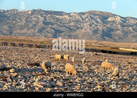the sheep graze the grass in the gravelly terrain - Stock Photo