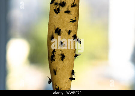 Dead Flies On Sticky Tape. Flypaper, sticky tape. Flies stuck. Trap for flies, insects. Flypaper, sticky tape. Flies stuckTrap for insects insects. lo - Stock Photo