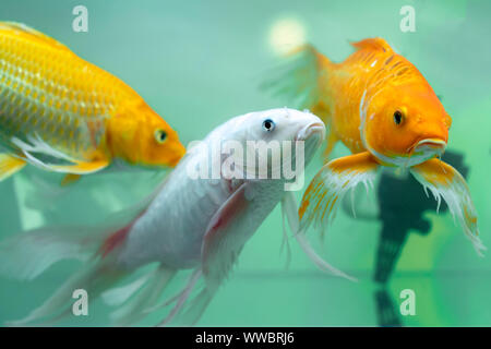 Colorful butterfly koi in the aquarium. This is a species of ornamental fish used to decorate in the house or garden - Stock Photo