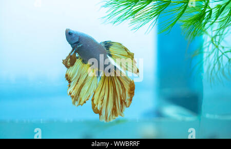 Halfmoon betta Colorful swimming in aquarium. This is a species of ornamental fish used to decorate in the house - Stock Photo