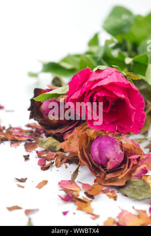 Fresh and dried pink roses with fractures of dried rose petals on white background. Contrast concept for live and death, love and lost, sweet and bitt