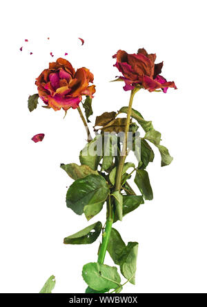 Dried red roses with fractures of rose petals on white background. Concept for aging love, bitter romance.