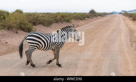 A zebra in the savannah in the Serengeti park, running and crossing the land road - Stock Photo