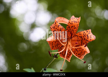 A black spotted orange tiger lily flower blossom (Lilium lancifolium) blooms in a sunny forest at Matsushima, Miyagi, Japan. - Stock Photo
